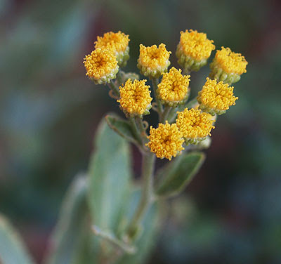 Balsamita (Balsamita major) in fiore. Foto di Andrea Mangoni.