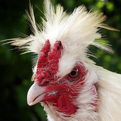 A Polverara rooster. Photo Andrea Mangoni.
