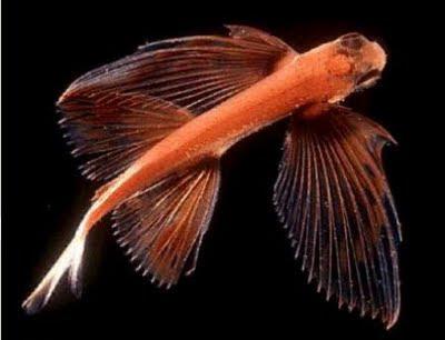 Ikan Laut Misteri Bersayap