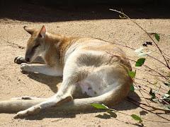 Zoo- Sydney - Austrália/Canguru Austrraliano