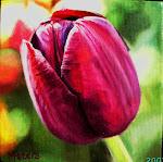 Petite Tulipe