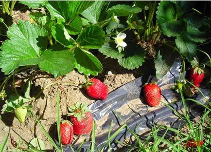 Cuidados del jardin las fresas for Cuidados del jardin