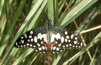 Common Lime Butterfly-Papilio demoleus