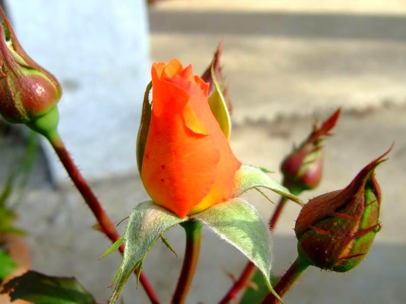 Orange roses nature cultural and travel photography blog for The meaning of orange roses