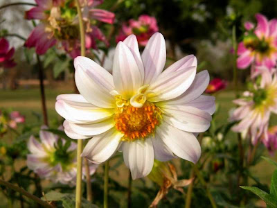 White Dahlia Flowers Picture