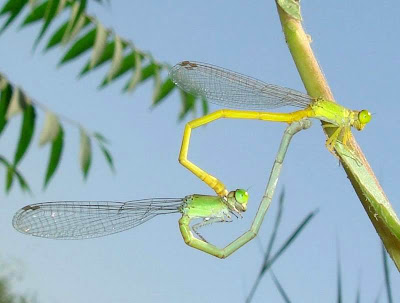 Damselflies (Coromandel Marsh Dart) Mating Pictures