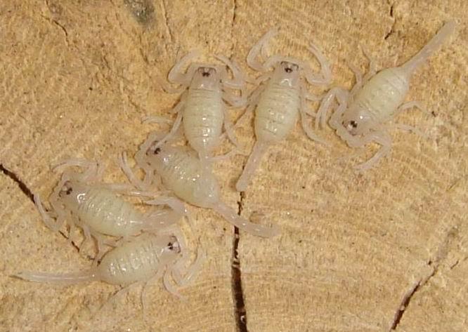 Baby scorpion sting
