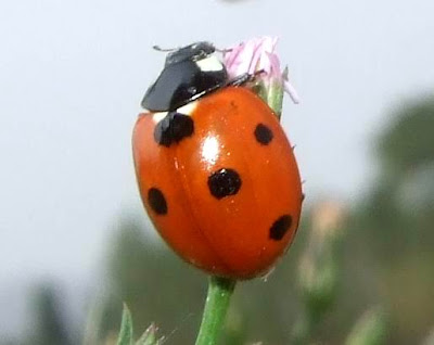 Seven Spotted Ladybug Picture