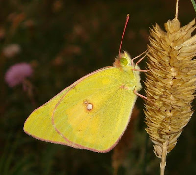 Harford's Sulphur Butterfly Pictures