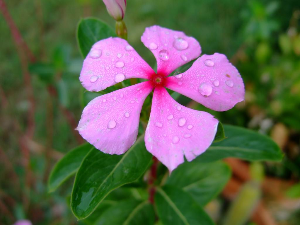 Flower Periwinkle Plant