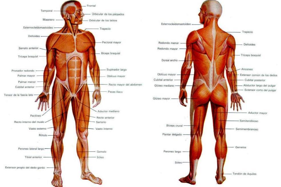 El cuerpo humano, una maquinaria maravillosa: Músculos