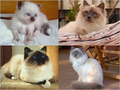 Cuatro gatos birmanos
