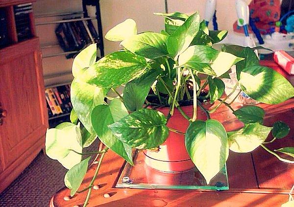 plantas trepadoras de interior plantas