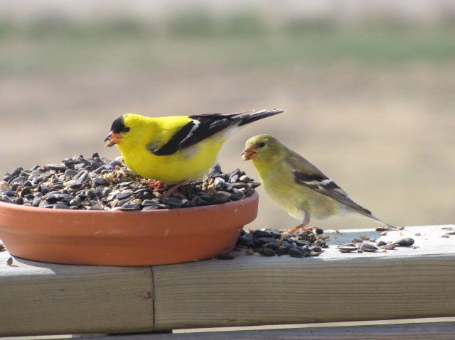 [goldfinches]