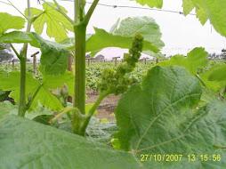 Campos de uva italia