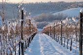 Le vigne innevate di Villa Petriolo