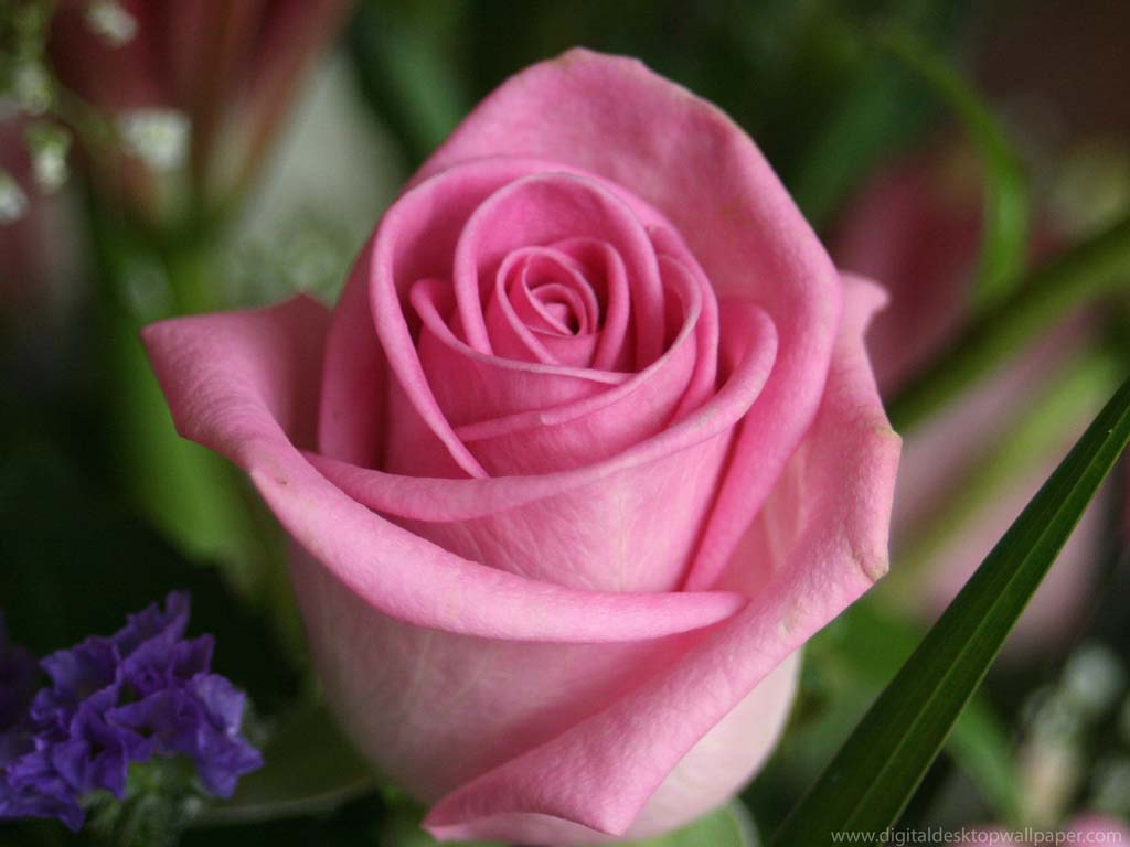 Wallpapers Flowers Rose Flower Wallpaper