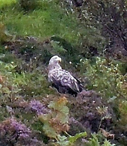 White Tailed Sea Eagle, Isle of Skye