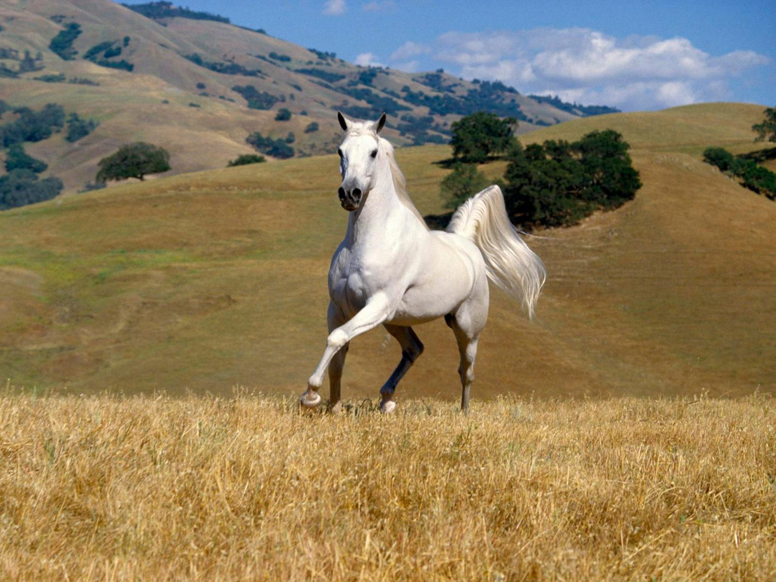 Fantastic   Wallpaper Horse Glitter - Beautiful_White_Horse  Pictures_494189.jpg