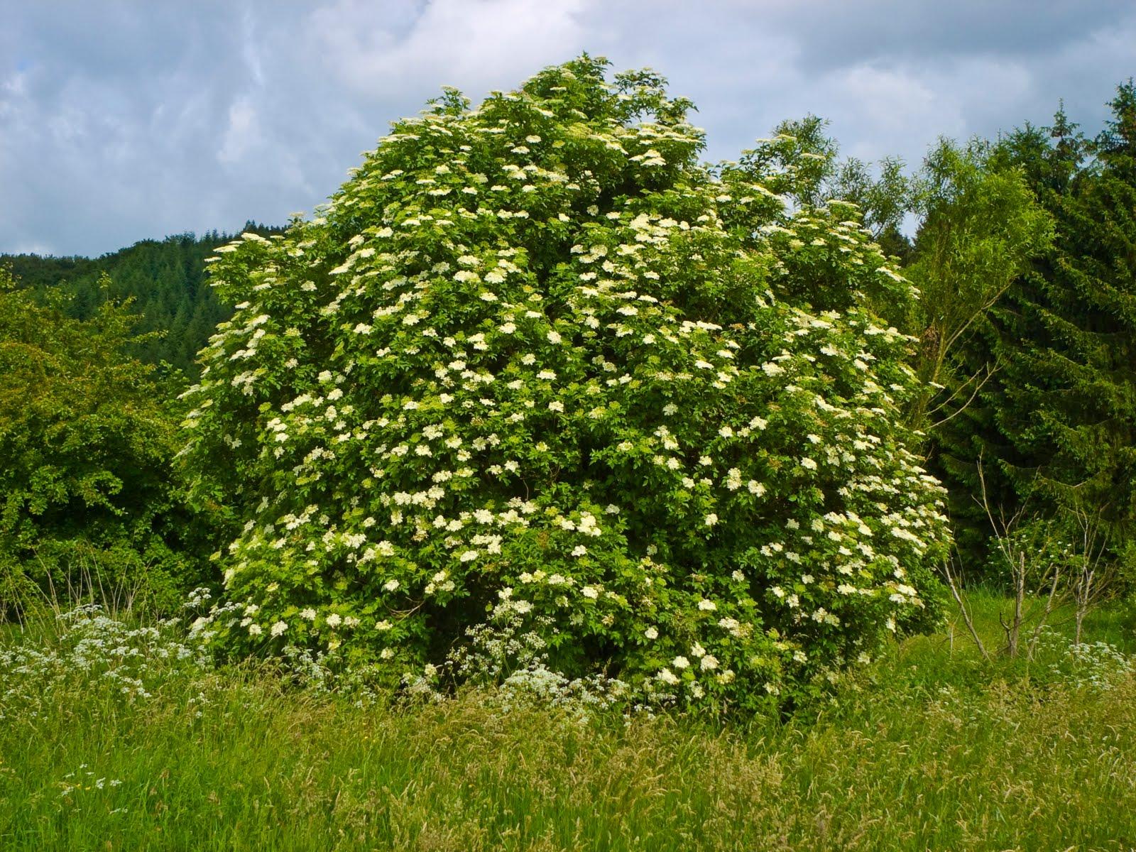 Arbustos bionaturalist for Especies de arbustos