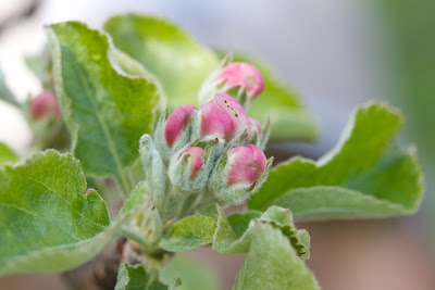omenankukkia