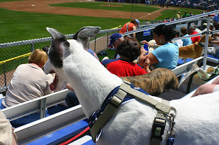 Blue the greyhound at a Sea Dogs game