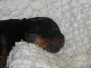 Panelma Rottweilers Puppies Of 2009