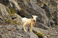 Mountain Sheep 05/10