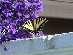 Swallowtail 07/10