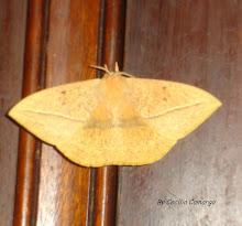 lomonia obliqua - borboleta