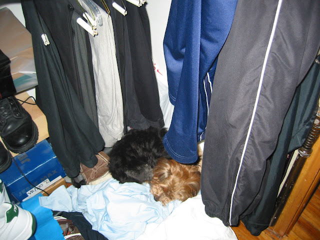 Priscilla-the-Yorkie-Hiding-in-the-Closet