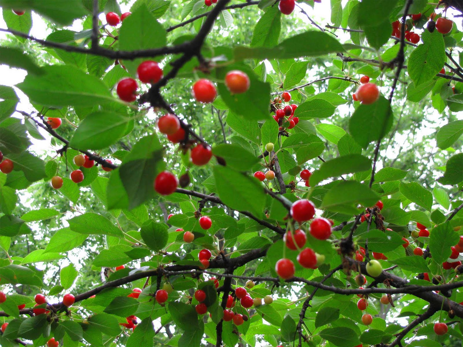 k cherry tree cherries sky island daily photo hydrangea
