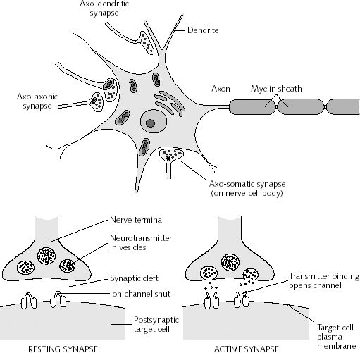 Nerve Synapse Changing Minds Around ...