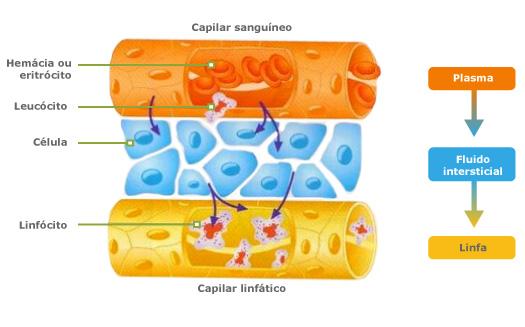 Fisiología del sistema Linfático