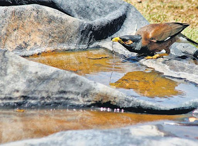 Bird drinking water at a bird water bowl
