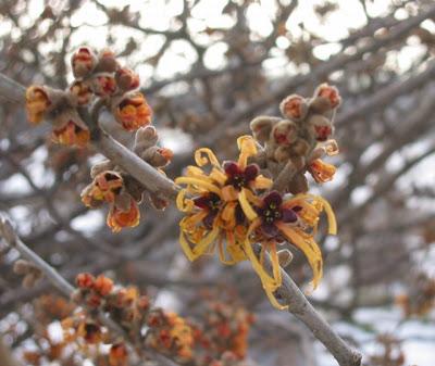 支那満作(シナマンサク)の花