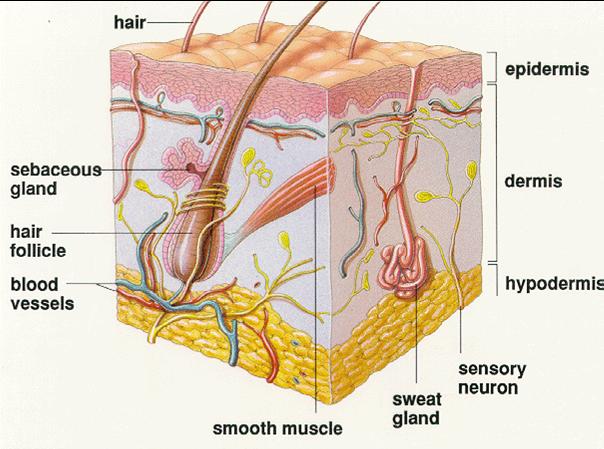 Anatomy of dermis