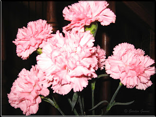 pink carnations for breast cancer awareness