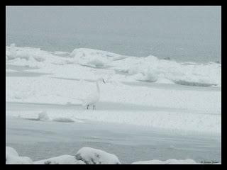 tundra swan on ice