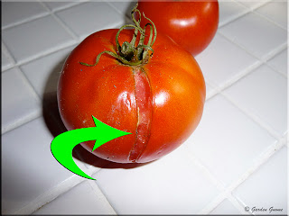 tomato splitting due to excessive water