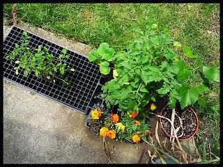 tomato plugs