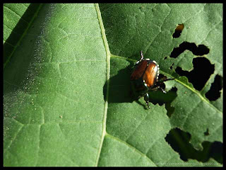 Japanese beetle on velvetleaf