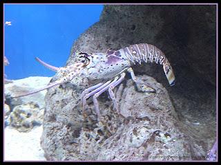 spiny lobster at The Florida Aquarium