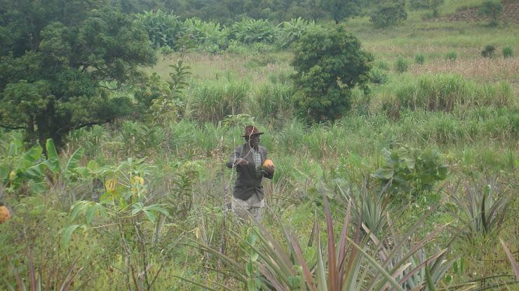 Caça aos ananases com o Soba das Aldeias de Ebanga (Soba é a autoridade max dentro de uma aldeia)