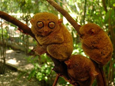 Filifina tarsier - monyet terkecil di dunia