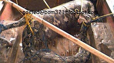 snake eat human