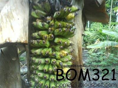 a thousand banana fruit