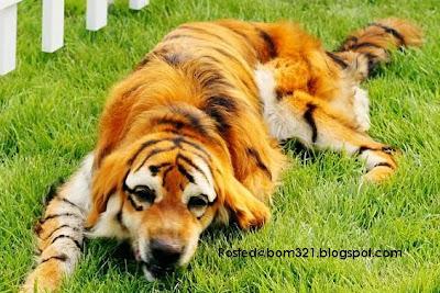 Anjing Berbulu Harimau !