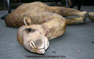 camel died