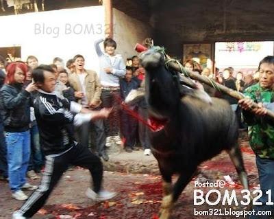 Penyeksaan Ke Atas Lembu !